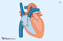 Heart Valve Images